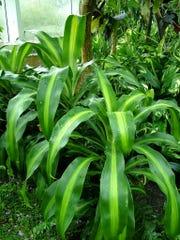 Cornstalk plant, or Dracaena fragrans Massangeana