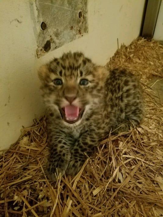 636337252382022472-Leopard-cub-1.jpeg