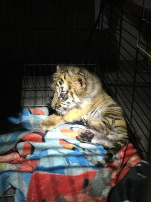 A tiger cub was found by U.S. Customs and Border Protection agents on Wednesday. The cub was on the floor of the passenger seat of a 2017 Chevy Camaro.