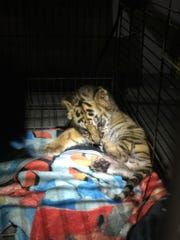 A Bengal tiger cub sits in a cage Aug. 23, 2017, after
