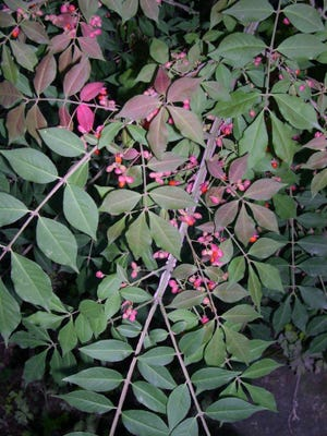 The seeds of 'Compactus' burning bush can invade local ecosystems causing widespread ecological damage. The locally-selected variety 'Rudy Haag' is almost entirely sterile, making it a much better selection for landscape plantings.
