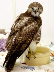 Juvenile red tail hawk.