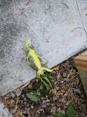 Charlie Furlani found this iguana outside his Fort Lauderdale home.