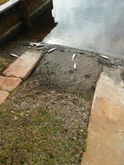 Dead mullet fish wash up on the shore of a canal on Thursday, Jan. 11, on Creekview Drive in Gulf Shores, Alabama.