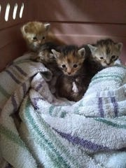 These are the kittens found by Jamey Lawrence.
