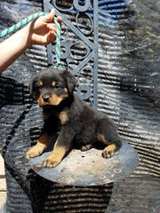 King, a Rottweiler pup, is one of the dogs bred and trained by Cathedral City basketball coach Marques Hill.