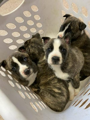 In the past week multiple litters of puppies have been brought to Ardmore Animal Care. The shelter took in over 100 animals in the week after Christmas.