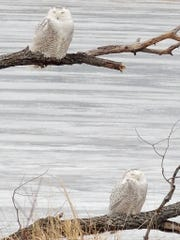 It was a Christmas miracle when I discovered not one, but two snowy owls perched side by side along an area pond this week.