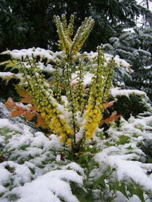 Mahonia 'Charity' puts on a show right through snowy weather.