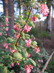 Chaparral currant (Ribes malvaceum) blooms October through March.