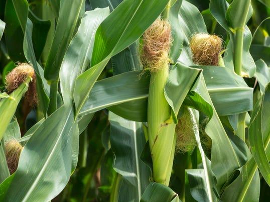 le- Corn 8421.jpg