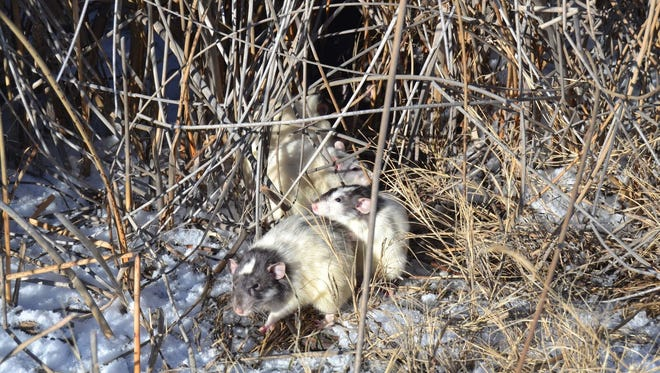The Larimer Humane Society rescued more than 80 rats from two Fort Collins natural areas on Dec. 21 and 22, 2017.