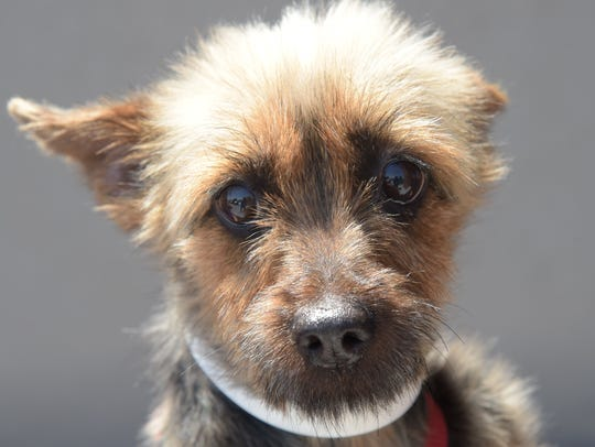 Chauncy - Male (neutered) Yorkie mix, adult. Intake