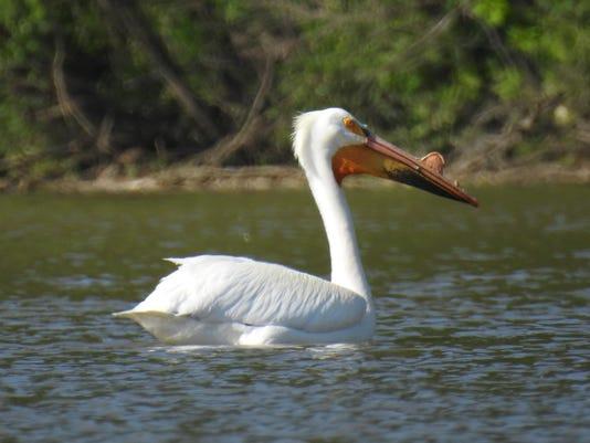 zan pelican