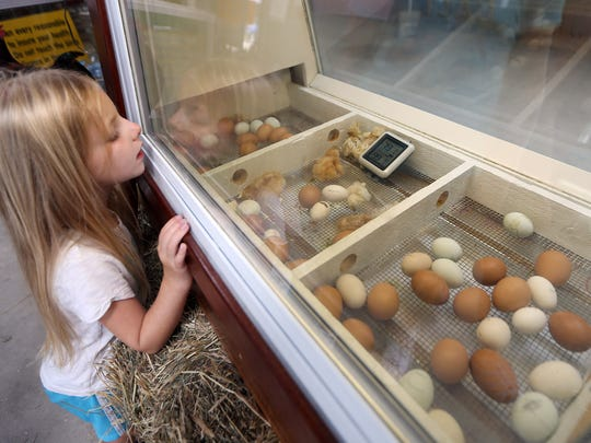 6-year-old Jayden Vaughan of Frankford takes a look at baby chicks at the annual Sussex County Farm and Horse show. August 6, 2016, Augusta, NJ