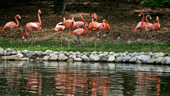 Caribbean flamingos get into position at the Milwaukee County Zoo in 2010.