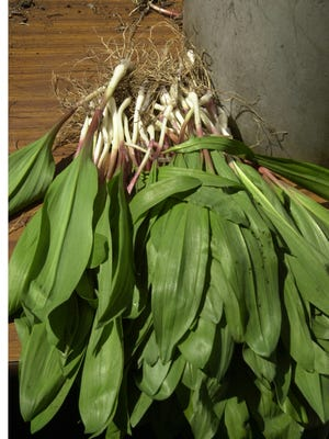 Ramps taste similar to onions and garlic.