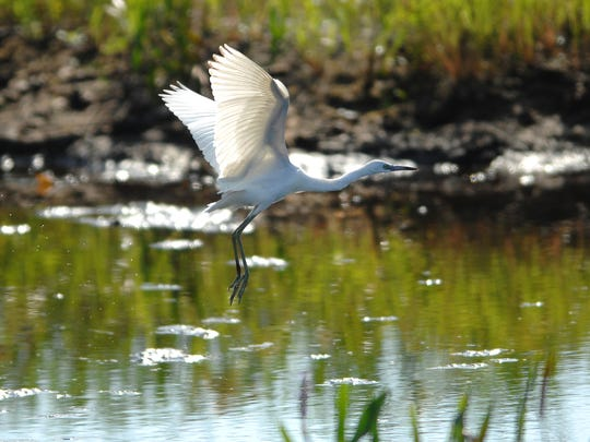 A great egret takes flight while looking for a meal