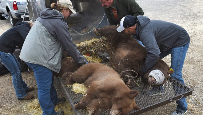 Nevada Department of wild Life staff process a bear and two cub on Wednesday morning. The mother bear was struck by a car on I-580 in Washoe Valley and is expected to recover.