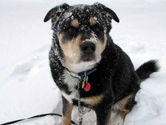 Susan Manzke's dog, Sunny, sure enjoys the snow even