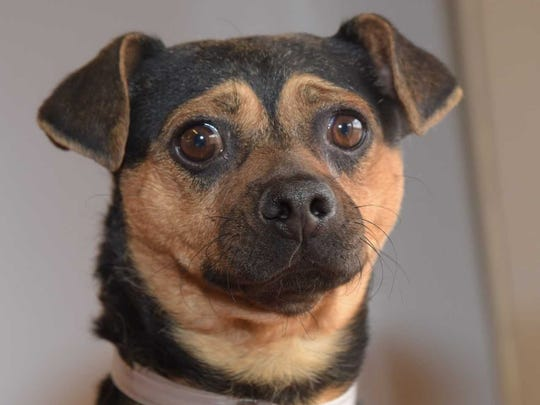 Rosco - Male (neutered) pug/Chihuahua mix, about 1