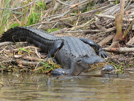Alligators and other wild animals may be displaced from their normal habitat during floods.