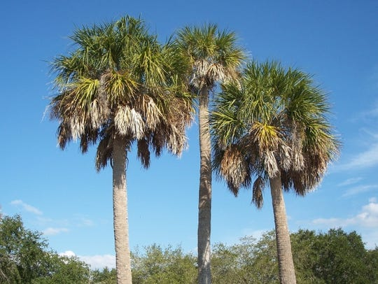 Palms have a natural globe shape to protect the growing