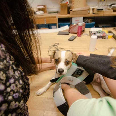 From Left: UD students Kristen Reilly, Marissa Gottschall, Monideepa Chatterjee, Melissa Landman, Bretta Fylstra and UD associate professor Vicki Cassman adjust a prototype prosthetic for Tika the dog that's being developed Sunday, Nov. 15, 2015 at Spencer Lab in Newark.