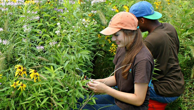 Liz Burke, a Taylor High School graduate headed to Ohio State University this fall, and Joseph Wilson III, a Lakota West High School grad heading into college at Miami University, separate wild bergamot from a section of gray-headed coneflowers in the Shaker Trace Seed Nursery.
