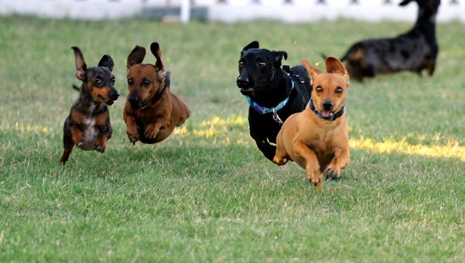 Chevy (right) pulls to the front of the pack to win the 2016 Rescue the Animals Dachshund Races in 2016 at the Nelson Park Festival Gardens in Abilene. See dachshunds make a dash for it during Slobberfest May 13 at the Humane Society of Wichita County.