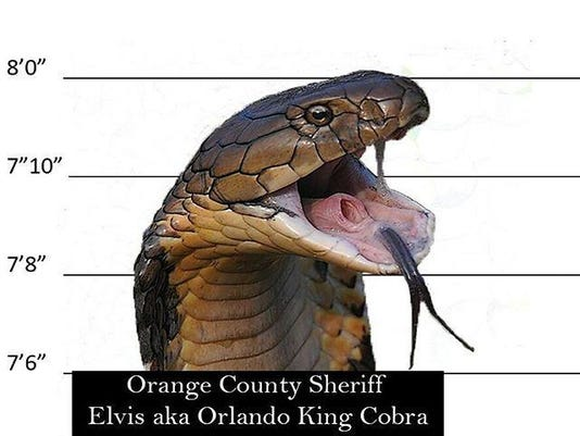 Elvis, the king cobra