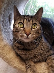 Ragu is 3-year-old brown tabby girl who has been with