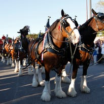 Budweiser Clydesdales return to Fort Myers, Cape Coral for Edison Festival Grand Parade
