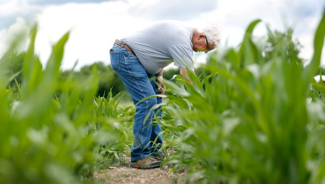 Farmer Dick Crnkovich is surrounded by two-foot-tall ornamental corn plants that are normally double their size by now.