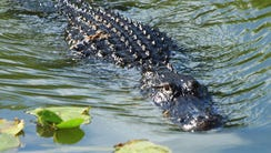 The Everglades are a natural region of tropical wetlands
