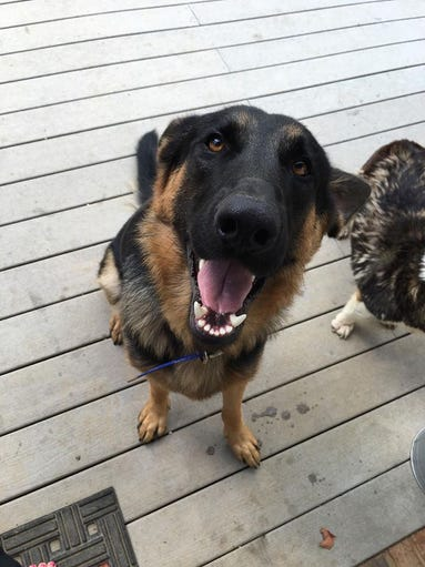 Dozer the German Shepherd smiles. His owners are Leanne
