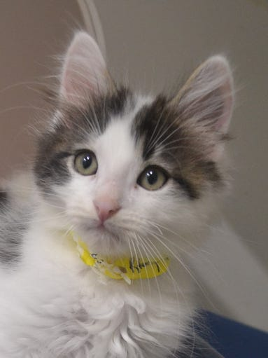 Mike, 10 weeks, black and white, fluffy, indoors, alert,