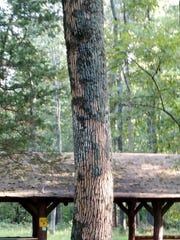What an ash tree looks like after an emerald ash borer gets to it.