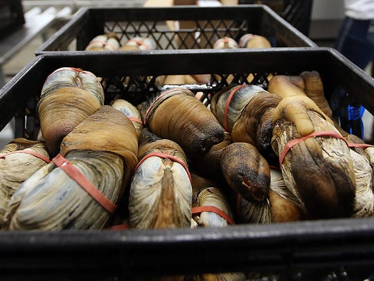 Geoducks await packing at Suquamish Seafoods in Suquamish.