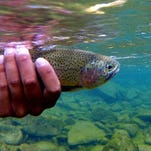 Releasing a rainbow trout caught on a fly rod during early fall fishing in 2014.