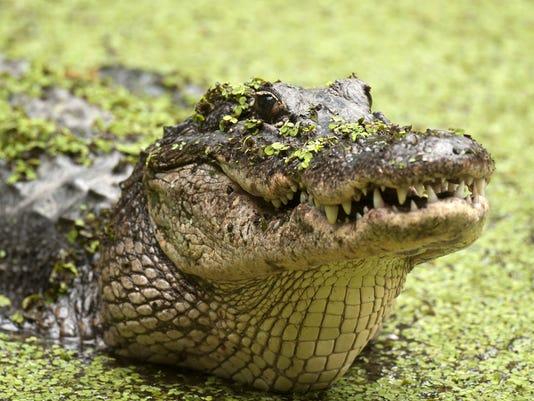 Alligator_02