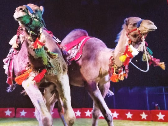 The circus features camels and other animals.