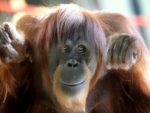 May TTD Orangutan