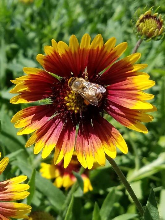 636575734540341416-gaillardia-blanket-flower-with-bee-close-up.jpg