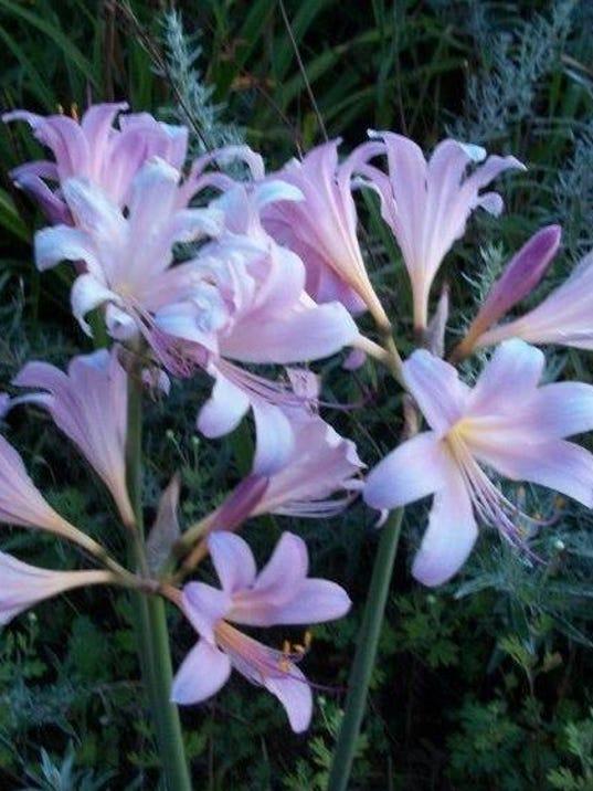Naked Ladies Flowers