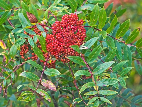 The Mountain Ash is one of the most beautiful fall