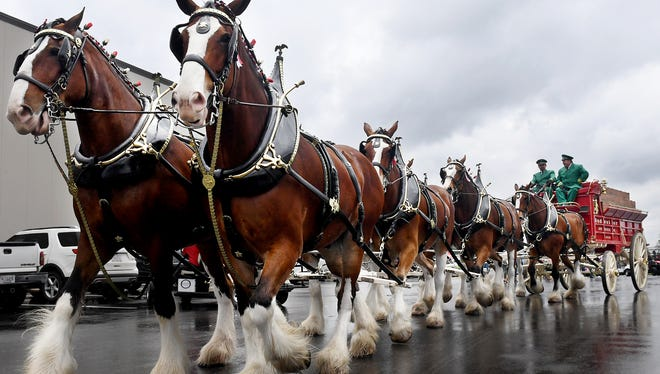 Central Distributors held their grand opening, Thursday, April 26, in Jackson. Hundreds of people gathered for the grand opening and ribbon cutting as well as to see the Budweiser Clydesdales.
