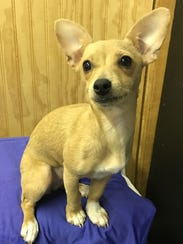Trudy is a female Chihuahua and Jack Russell mix. She's