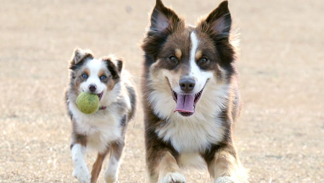 Australian shepherds Lucy and Murphy play catch at City of Franklin's relocated and improved K-9 Korral Dog Park at The Park at Harlinsdale Farm.