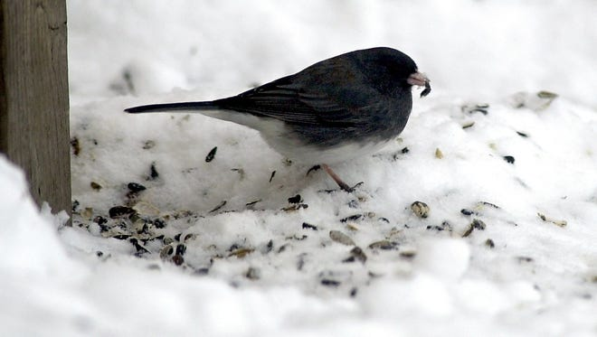 A slate colored junco eats birdseed from the ground beneath a feeder.